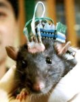 Rat cyborg brain